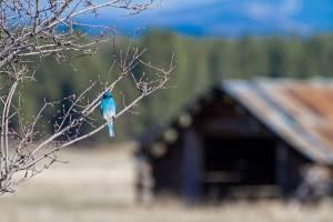 WMontanaFB_WinterBlueBird